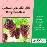 نهال انگور روبی سیدلس Ruby Seedless